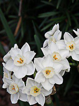 Paperwhites, Flowers, White, Plant, Blooming, Bloom
