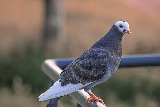 Dove, Bird, Nature, Pigeons, Feather, Bill, Wing