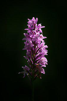 Orchid, Pink, Flower, Wild Flower, Plant, Close Up