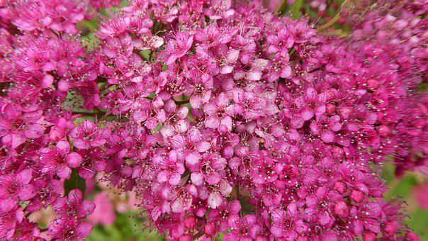 Pink Flowers, Bush, Spring, Tender, Ornament