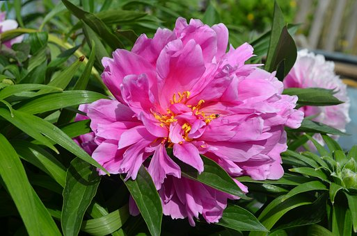 Peony, Peonies, Garden, Bloom, Flowers, Flower, Pink