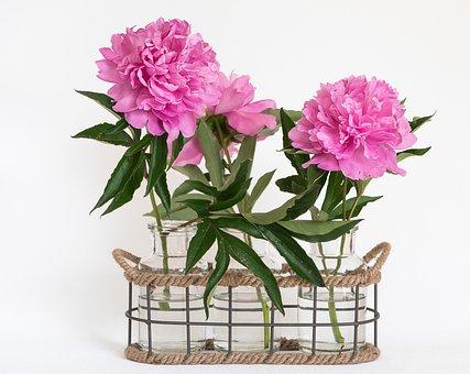 Peony, Pink, Pink Peonies, Flowers, Pink Flowers