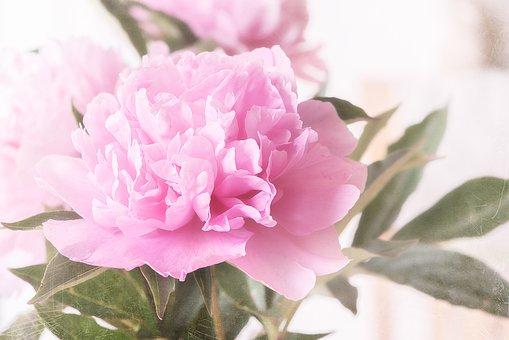 Peony, Blossom, Bloom, Pink, Pink Peony, Pink Flower