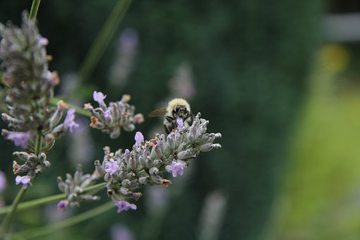 Lavender, Garden, Insect, Flower, Purple, Plant
