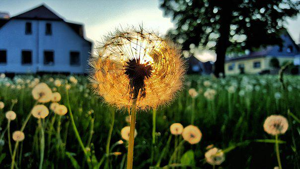 Dandelion, Sunset, Nature, Pointed Flower, Close Up