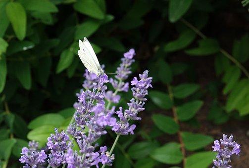 Butterfly, Lavender, Summer, Garden, Flower, Purple