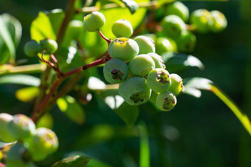 Blueberries, Green, Immature, Ripening Process
