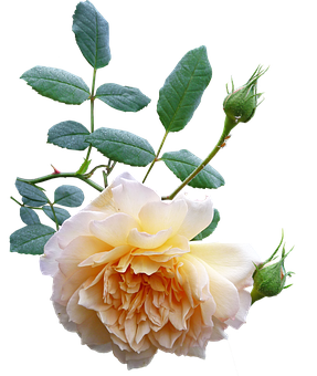 Rose, Flower, Yellow, Bloom, Plant, Nature