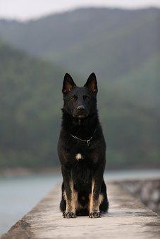 German Shepherd, Squat, Dog, Sitting