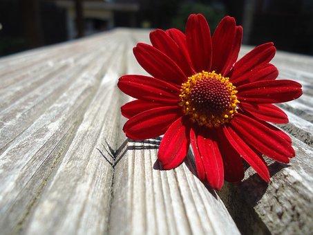 Daisy, Flower, Beautiful, Summer, Nature