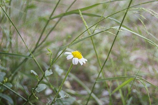 Daisy, Wild Flower, Flower, Summer