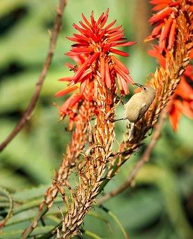 Southern Double-collared Sunbird, Sunbird, Bird, Avian