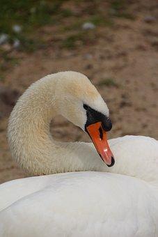 Swan, Mute Swan, Bird, Pen, White Swan, White Plumage