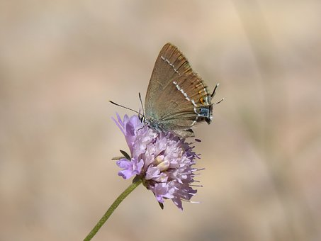 Butterfly, Flower, Libar, Teenindusega Boeticus