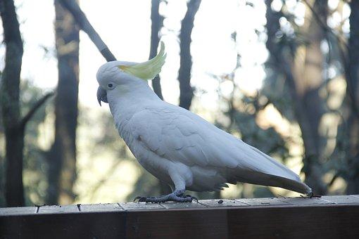 Cockatoo, Australia, Rainforest, Tree, Parrot, White