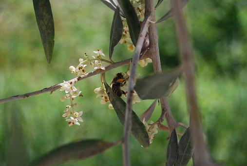 Bee, Honey Bee, Olive Tree, Flowers, Tree, Pollination