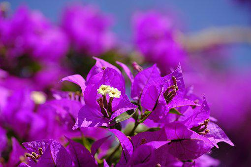 Triple Flower, Bougainvillea, Bougainville, Flower