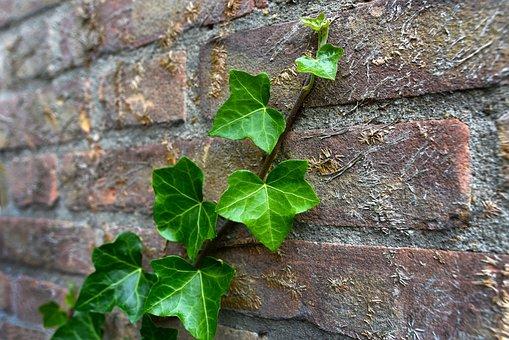Ivy, Plant, Creeper, Vine, Climber, Growth, Brick Wall