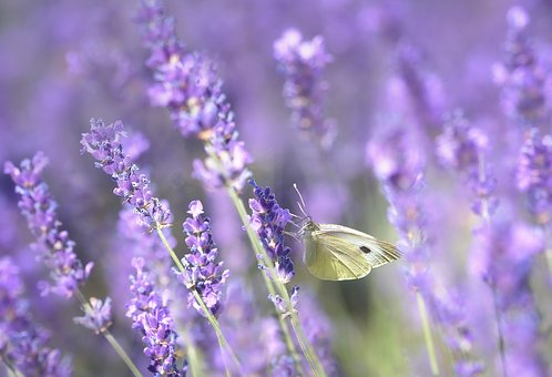 Lavender, Purple, Nature, Violet, Flowers, Plant
