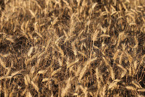 Wheat Before Harvest, Agriculture, Field, Rural, Food