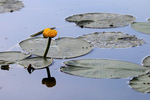 Water Lily, Nuphar Lutea, Leaf, Yellow Flower, Petal