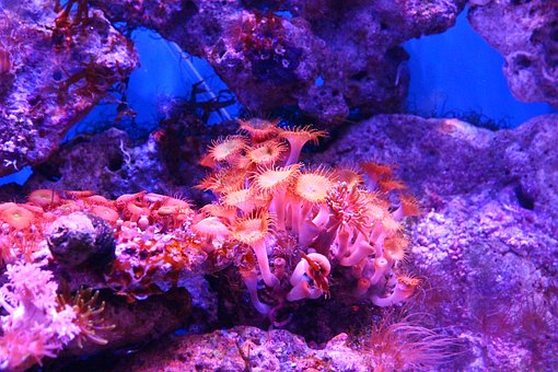 Coral, Polyp, Actinium, Anemone, Sea Anemone, Aquarium