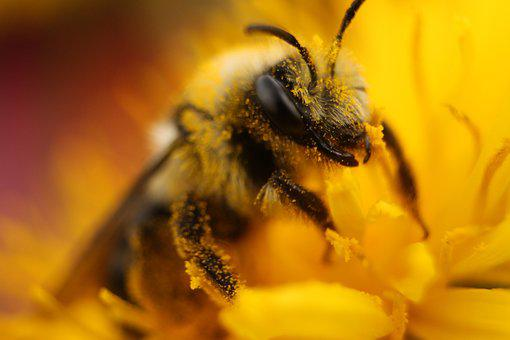 Bee, Pollen, Insect, Blossom, Bloom, Close Up, Collect