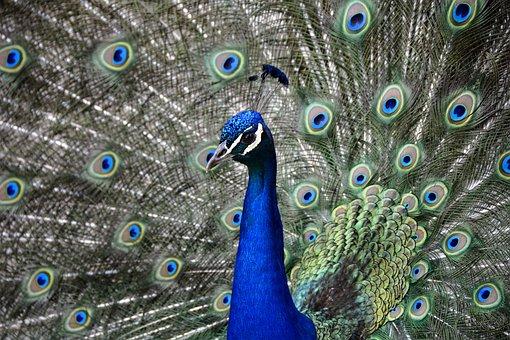 Peacock, Wheel, Bird, Feather, Colorful, Animal