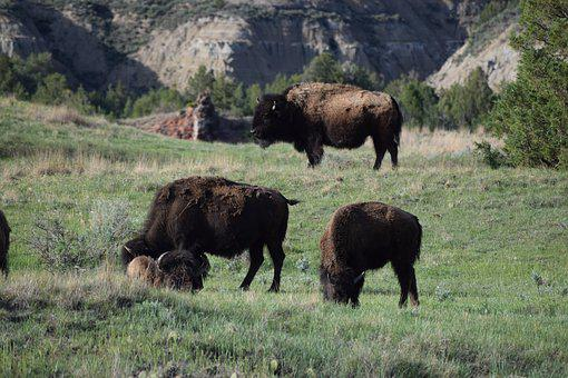 Herd, Buffalo, Bison, Wildlife