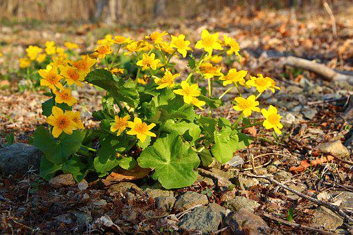 Marigold, Yellow Flowers, Spring Flowers, Bloom