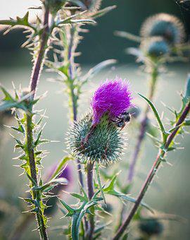 Thistle, Bush, Green, Purple, Bloom, Bud, Nature, Plant