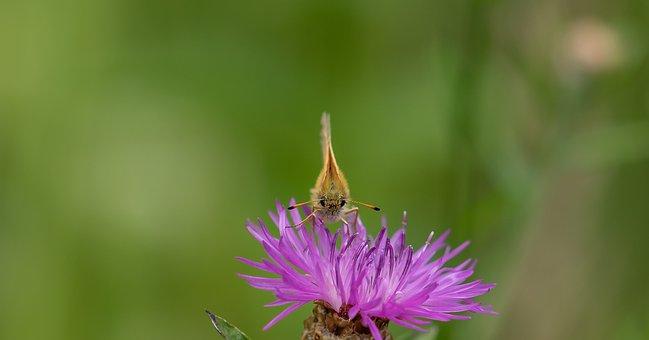 Skipper, Butterfly, Frontal, Thistle Flower, Macro