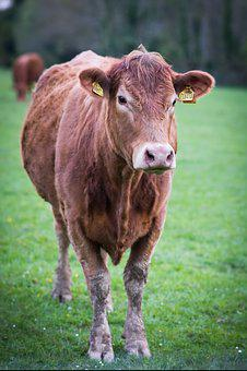 Cow, Animal, Farm, Livestock, Cattle, Meadow, Nature