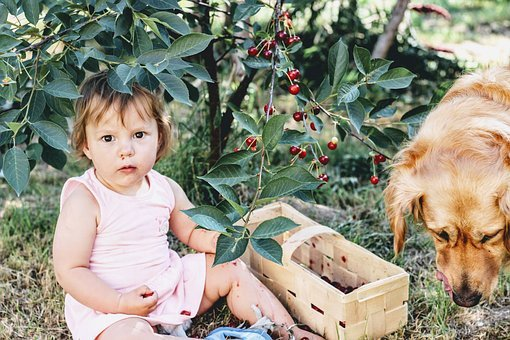 Cherries, Cherry, A Collection Of, Child, Village