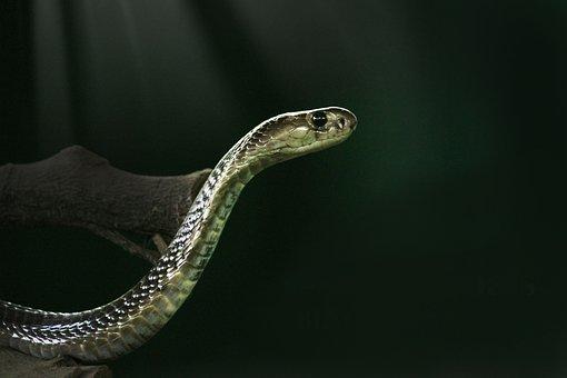 King Cobra, Cobra, Snake, Animal, Wild