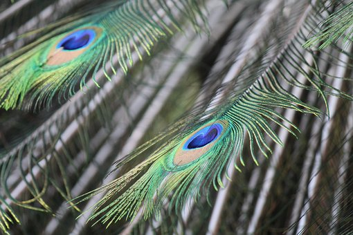 Peacock, Feathers, Pen, Colorful, Animals, Ave, Color