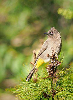 Cape Bulbul, Bird, Avian, Nature, Animal, Eye, Looking