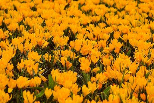 Tulips, Keukenhof, Spring, Flower, Holland, Plant