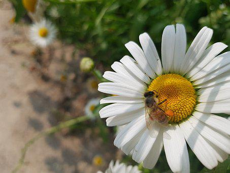 Daisy, Flowers, Ox-eye Daisy, Bee