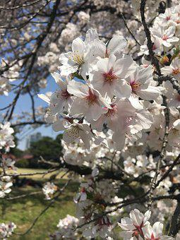 Cherry Blossoms, Flowers, Flowering