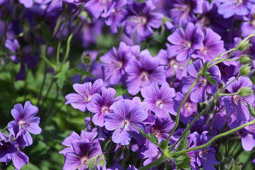 Flowers, Purple Flowers, Salpiglossis, Plant, Nature