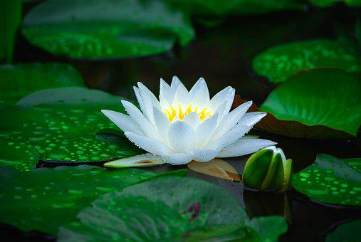 Water Lilies, Nature, Plants, Flowers, Pond