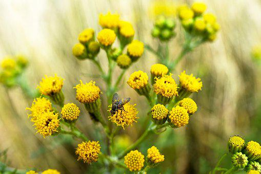 Groundsel, Old-man-in-the-spring, Flower, Plant, Bloom