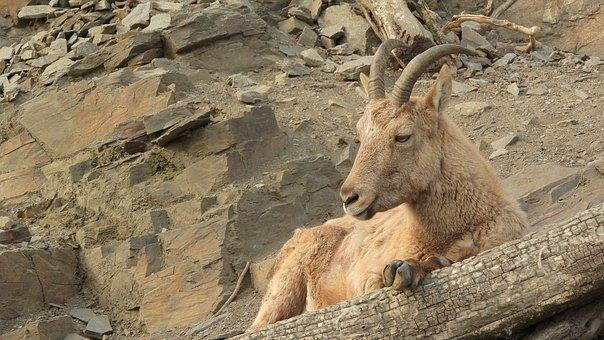 Ibex Caucasian, Capra Caucasica, Ibex, The Prague Zoo