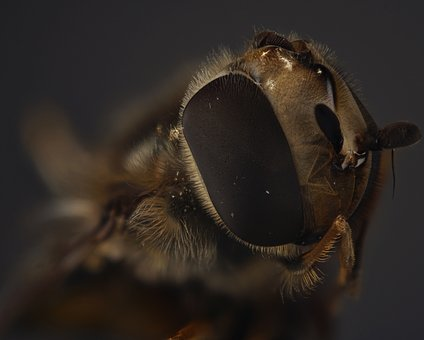 Hover Fly, Compound, Fly, Close Up, Insect, Macro
