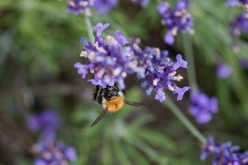Lavender, Bee, Honey Bee, Hummel, Insect, Violet