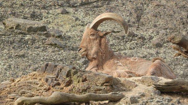 Barbary Sheep, Ammotragus Lervia, Male, The Prague Zoo