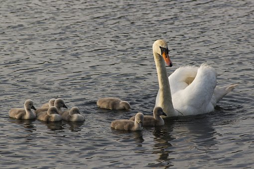 Swans, Water, Swan, Bird, Animal, Nature, Lake, White