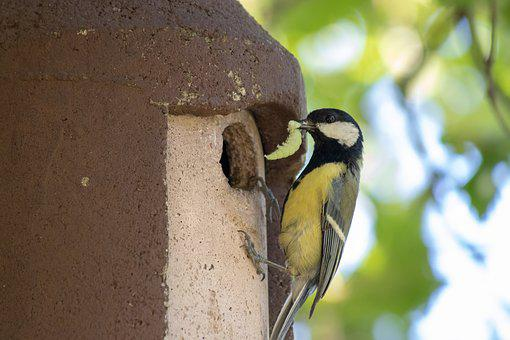 Nature, Bird, Tit, Caterpillar In Its Beak