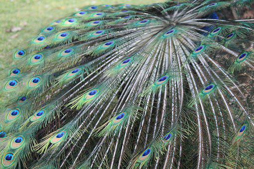 Feathers, Colors, Nature, Colorful, Peacock, Pen, Blue